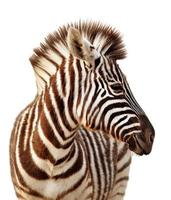 Zebraporträt isoliert