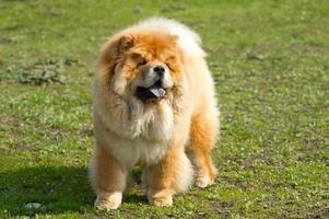 Hund Chow-Chow foto