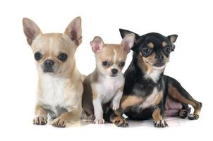 Welpe und erwachsene Chihuahua