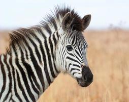 Porträt eines jungen Zebrafohlens foto