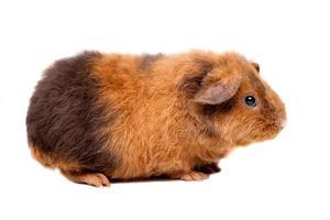 Teddy Meerschweinchen
