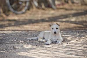 Welpe neugeborener weißer pommerscher Hund