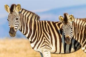 Zebras Kalb Wildlife Farben foto
