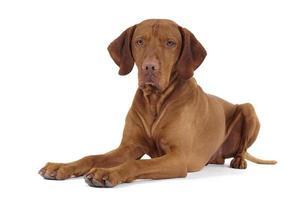 reiner Rassenhund, der auf Florr legt foto