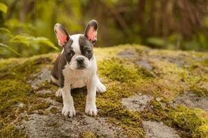 französischer Bulldoggenwelpe foto