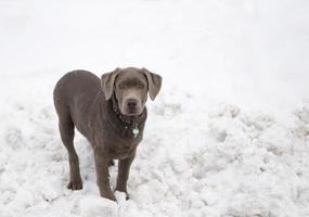 Labrador Welpe foto