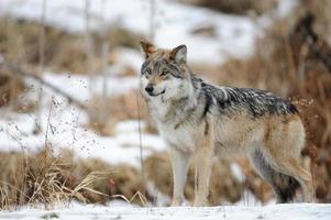 mexikanischer grauer Wolf foto