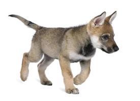 junger europäischer Wolf foto
