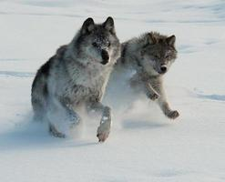 graue Wölfe laufen 1