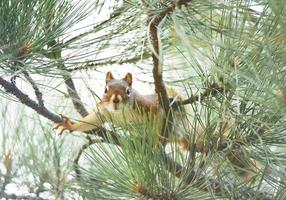 rotes Eichhörnchen bereit zu springen