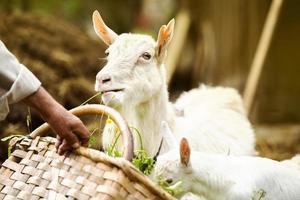 Ziege auf dem Bauernhof foto