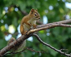 horizontales Format des roten Eichhörnchens