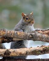 graues Eichhörnchen, das über Zweige schaut