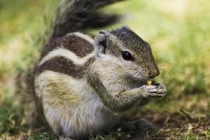 Eichhörnchen essen Erdnuss