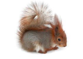 graues Eichhörnchen