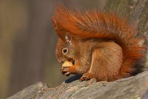 Rotes Eichhörnchen (Sciurus vulgaris) isst Walnüsse