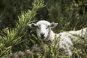 Schaf und Ziege foto