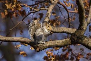 graues Eichhörnchen (Sciurus carolinensis)