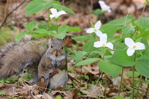 östliches graues Eichhörnchen, das nahe weißen Trilliumblumen sitzt