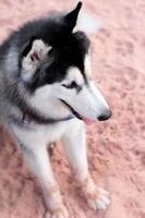 Siberian Husky Hund sitzt am Strand