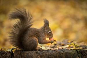 rotes Eichhörnchen auf Gold
