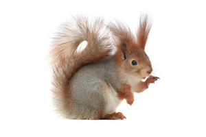 Eichhörnchen,