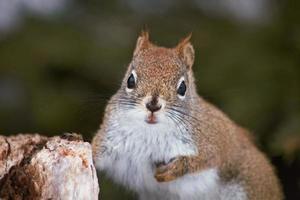 schönes Eichhörnchen