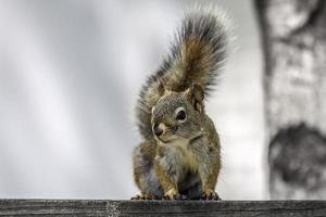 Eichhörnchen posiert für Foto