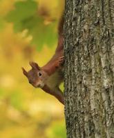 verspieltes Eichhörnchen foto