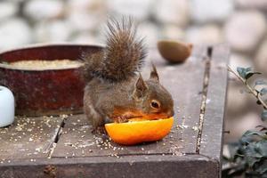 Das Eichhörnchen hat eine Mandarine