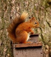 roter Squirell