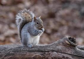 Eichhörnchen, das Nüsse auf einem Zweig isst foto