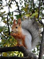 rotes Eichhörnchen, das auf dem Baum isst