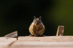 Chipmunk starrte nach unten