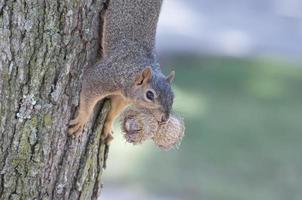 gieriges Eichhörnchen