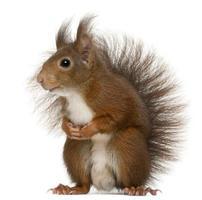 Seitenansicht von Eurasischem Eichhörnchen, Sciurus vulgaris, weißer Hintergrund.