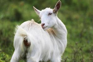 junge weiße Ziege, die Gras in der Sommerwiese isst
