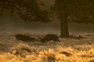 Rotwild Hirsche kämpfen
