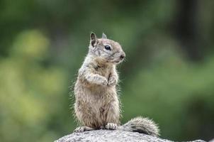Eichhörnchen auf den Hinterbeinen auf der Suche nach einer Nuss foto