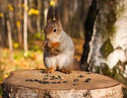 rotes eurasisches Eichhörnchen