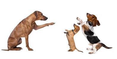 großer Hund kleine Hunde befiehlt foto