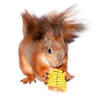 Eichhörnchen und Mais