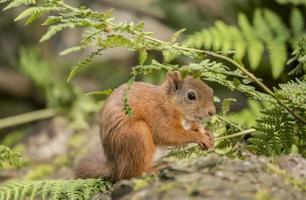 rotes Eichhörnchen auf einem Baumstamm, der eine Nuss isst