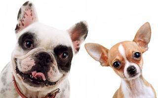 Chihuahua und französischer Bulldogge foto