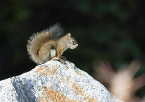 rotes Eichhörnchen auf Felsen foto
