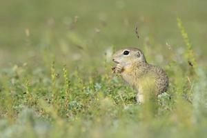 Gopher in der Natur