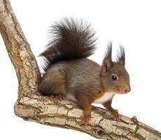rotes Eichhörnchen, Sciurus vulgaris, Climbin