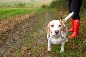 Beagle wird an der Leine auf dem Feld geführt foto