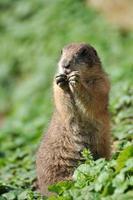 Europäisches Grundeichhörnchen - Spermophilus Citellus