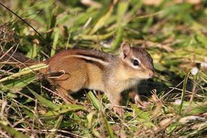östlicher Streifenhörnchen (Tamias Striatus)